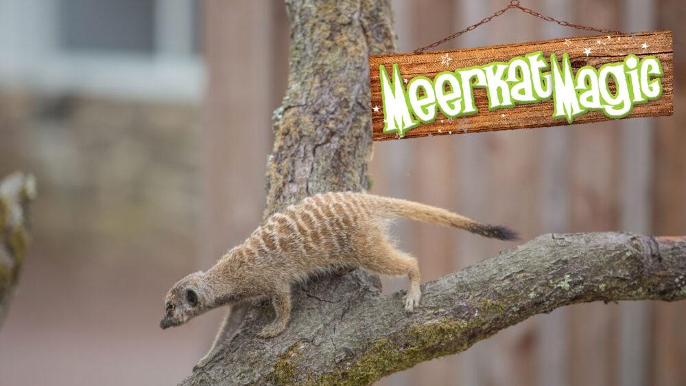 Meerkat-Magic